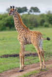 Masai-Giraffen-Kalb-Endstück-Schlagen lizenzfreies stockbild