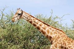 Masai-Giraffenessen eines Akazienbaums Lizenzfreies Stockfoto