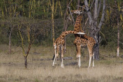 Masai Giraffes Stock Photography