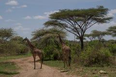 Masai giraffes Stock Photos