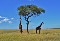 Masai Giraffes in Kenya Royalty Free Stock Photo