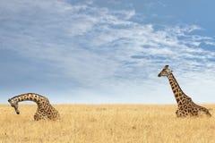 Masai Giraffes Stock Image
