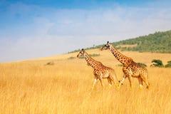Masai giraffes walking together in Kenyan savanna Stock Image