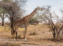Masai girrafe Obraz Stock