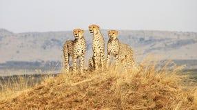 Masai in guardia Mara del ghepardo Fotografie Stock Libere da Diritti