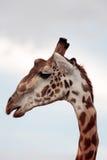 Masai or Kilimanjaro Giraffe Royalty Free Stock Image