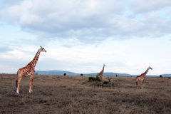 Masai or Kilimanjaro Giraffe Royalty Free Stock Photo