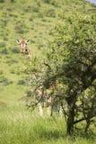 Masai lub Kilimanjaro żyrafy schodki w kamerę przy Lewa przyrody Conservancy, Północny Kenja, Afryka Fotografia Royalty Free