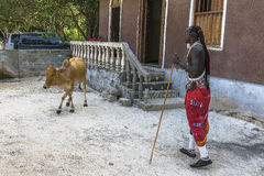 Masai man and one cow Royalty Free Stock Photo