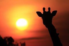 Masai Mara żyrafa Zdjęcia Stock
