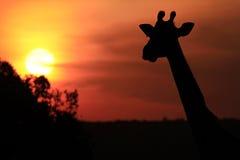 Masai Mara żyrafa Zdjęcie Stock