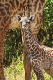 Masai Mara żyrafy Obraz Stock