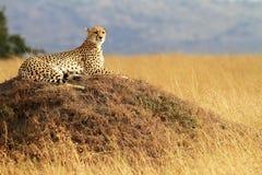 masai mara гепарда Стоковые Фотографии RF
