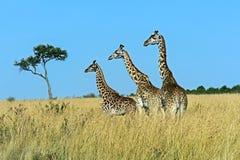 Masai mara жирафа Стоковое Изображение RF