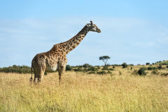 Masai mara жирафа Стоковое Изображение
