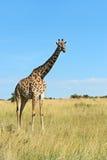 Masai mara жирафа Стоковая Фотография