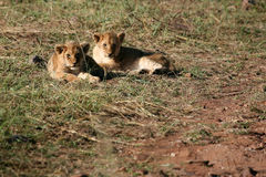 masai mara львов Кении Стоковое Изображение RF