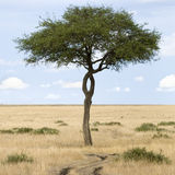 Masai mara. View of a tree next to a path in a plain in the natural reserve of masai mara Royalty Free Stock Images