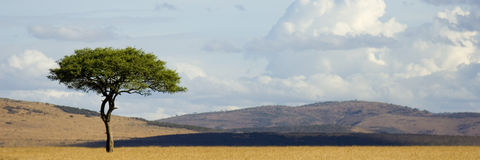 Masai mara. View of a tree in the middle of a plain in the natural reserve of masai mara Royalty Free Stock Photography