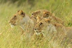 Masai Mara imagem de stock royalty free
