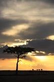 Masai mara Royalty Free Stock Images