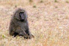 Masai Mara Baboon Imagens de Stock
