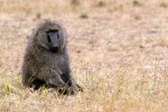 Masai Mara Baboon Images stock