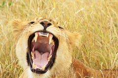 Masai Mara Baby Lion Yawning/Growling Royalty Free Stock Photo