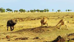 Masai Mara Cape Buffalo en Leeuwen Stock Foto's