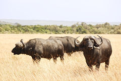 Masai Mara Cape Buffalo Stock Photo