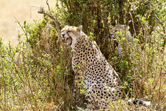 Masai Mara Cheetah Stockbilder