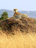 Masai Mara Cheetah Stock Photos