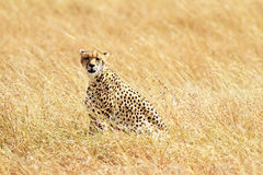 Masai Mara Cheetah Royalty Free Stock Images