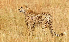 Masai Mara Cheetah Stock Photo