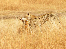 Masai Mara Cheetah with Gazelle Stock Images