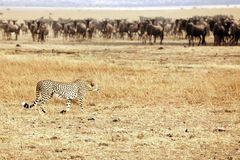 Masai Mara Cheetah Stalking Wildebeest Stock Image