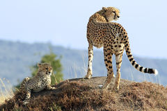 Masai Mara Cheetahs. A cheetah (Acinonyx jubatus) and cheetah cub on the Maasai Mara National Reserve safari in southwestern Kenya royalty free stock photography