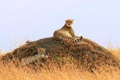 Masai Mara Cheetahs Imagem de Stock