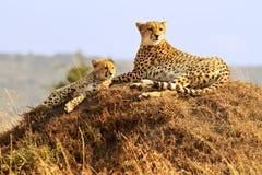 Masai Mara Cheetahs Immagine Stock Libera da Diritti