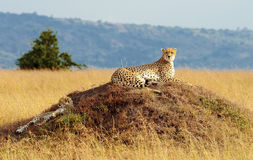 Masai Mara Cheetahs lizenzfreie stockfotos