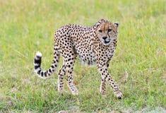 Masai Mara Cheetahs lizenzfreies stockfoto