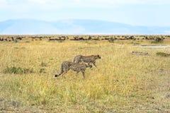 Masai Mara Cheetahs stockfoto