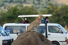 Masai Mara Cheetahs stockbilder