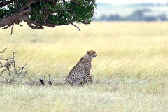 Masai Mara Cheetahs stockfotografie