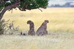Masai Mara Cheetahs stockbild
