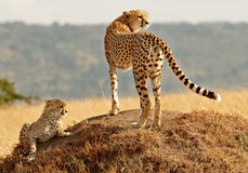 Masai Mara Cheetahs Royalty Free Stock Photos