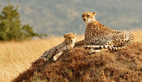 Masai Mara Cheetahs Royalty Free Stock Photo