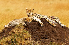Masai Mara Cheetahs Stock Photography