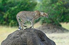 Masai Mara Cheetahs Royalty Free Stock Image