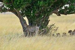 Masai Mara Cheetahs Royalty Free Stock Photos